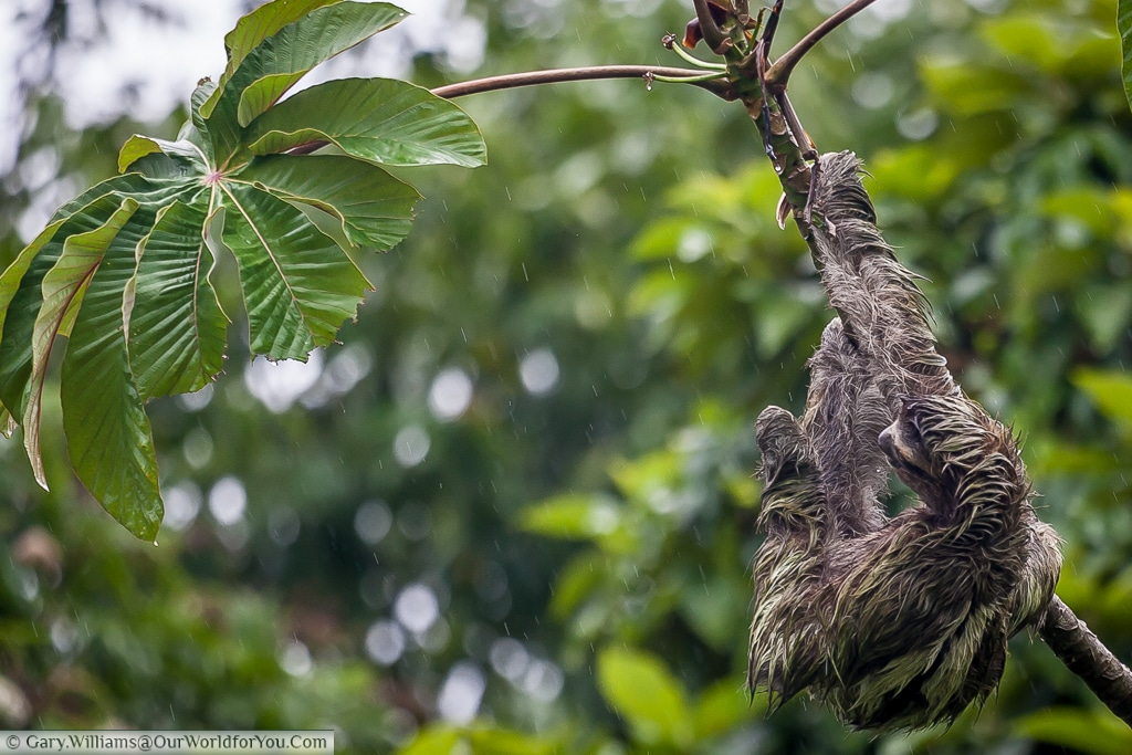 A close-up of our sloth contemplating the lush green leaves at the end of this branch.