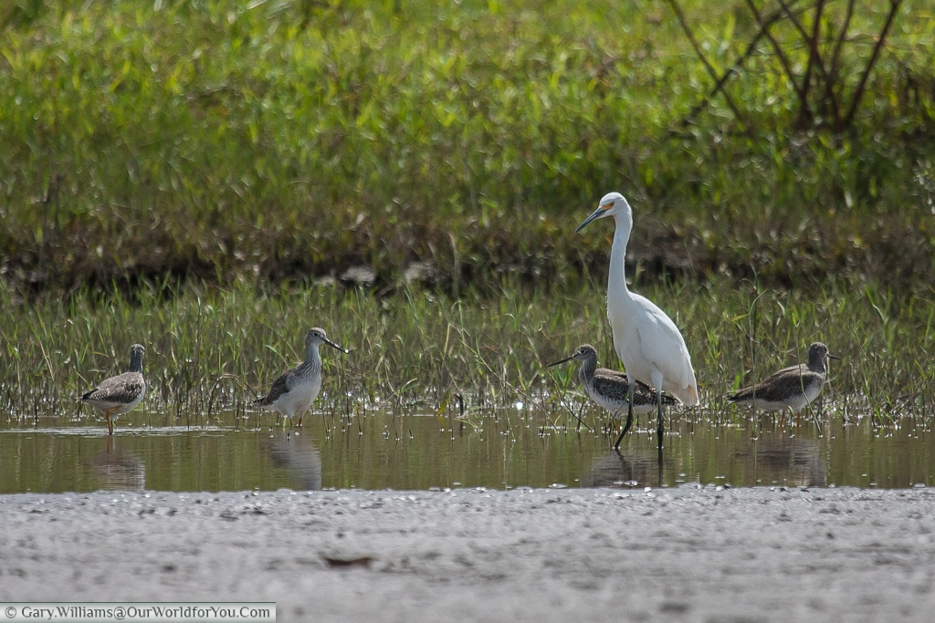 A Snowy Egret and other birds feed at Caño Blanco before our trip to Tortuguero.