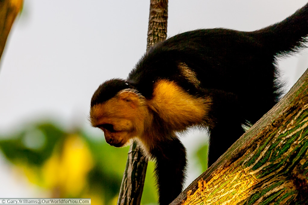 A white-faced Capuchin monkey trying to keep a low profile, and pretend he hasn't seen me.