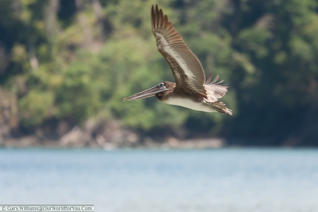 A Brown Pelican in full flight - wonderful to just sit & watch.