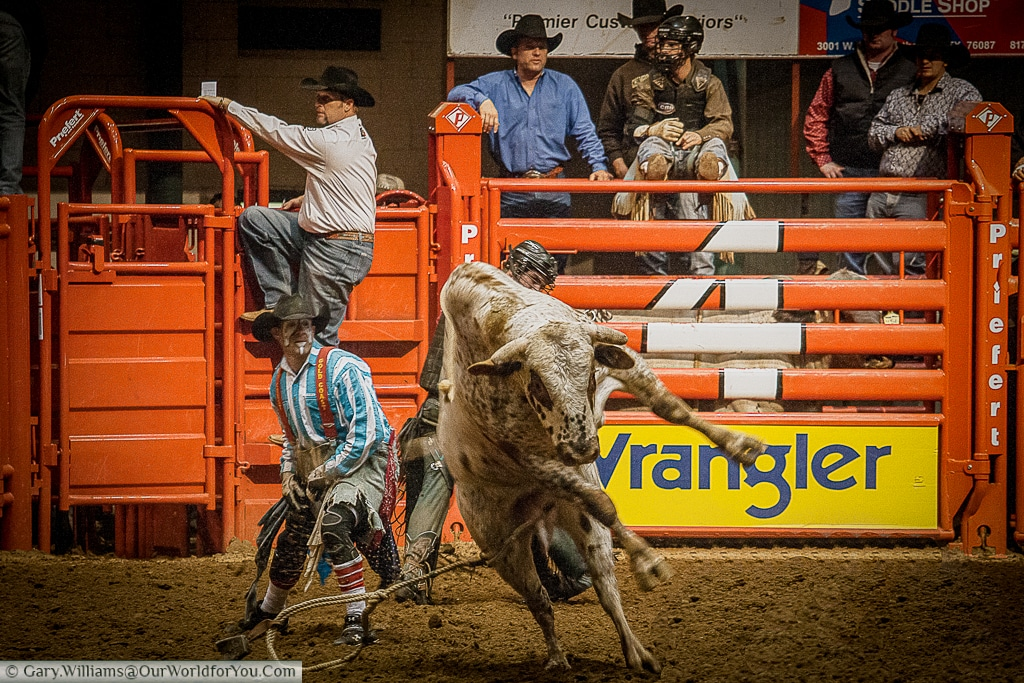 Bring a beast under control at the Stockyards Championship Rodeo, Fort Worth, Texas
