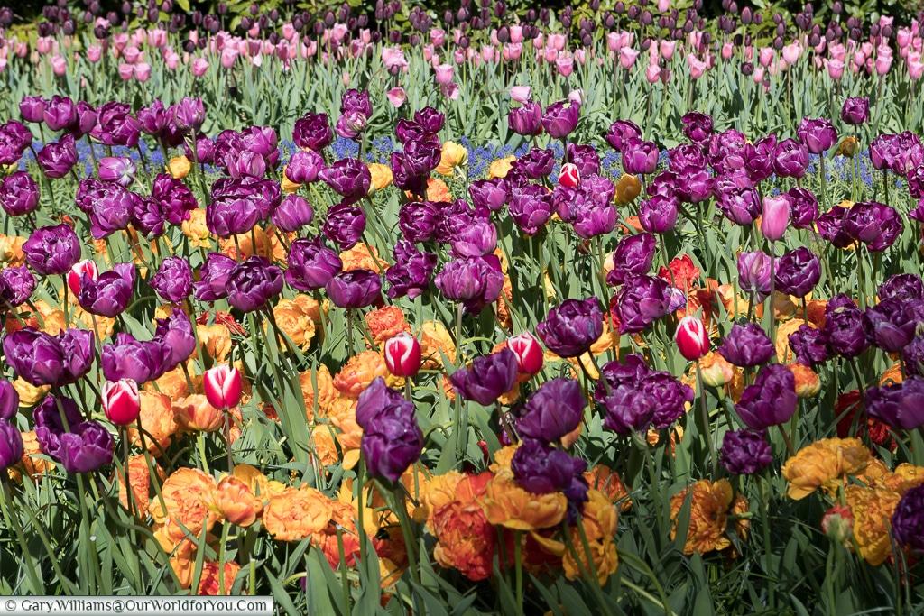 Multi-coloured blooms, Keukenhof, Holland, Netherlands