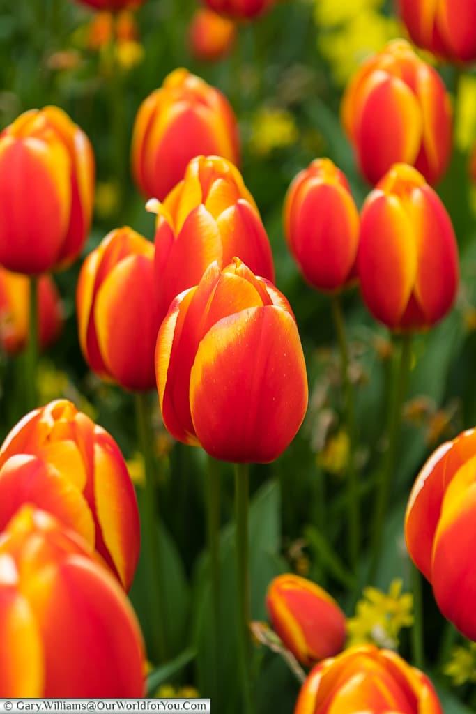Striking tulips, Keukenhof, Holland, Netherlands