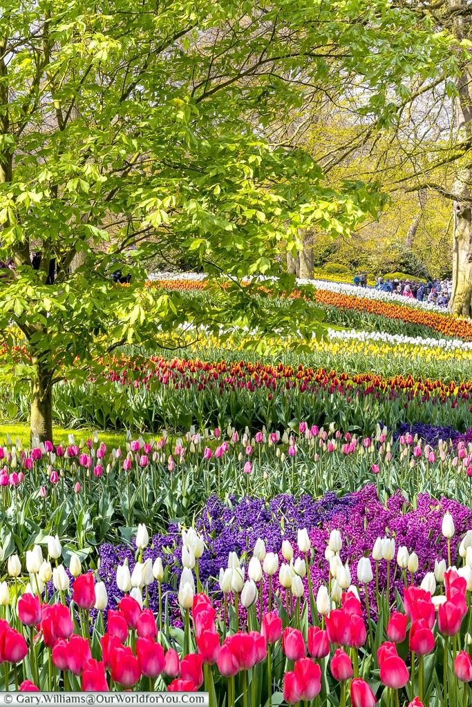fields of colour, Keukenhof, Holland, Netherlands