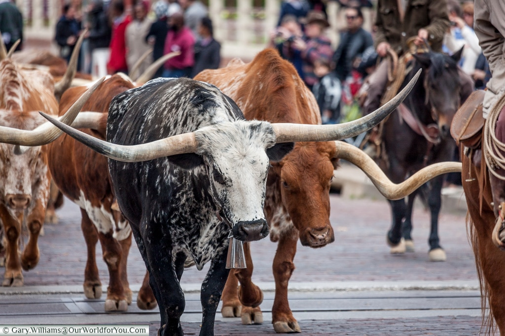 Horns to be proud of, Stockyards. Fort Worth, Texas, USA