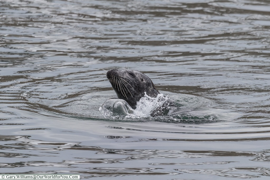 A seal splashing about in the water, Iceland