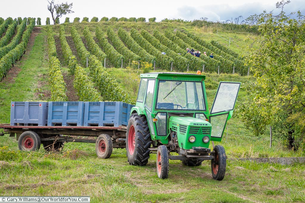 Picking the grapes in the Jura wine region, Arbois, France