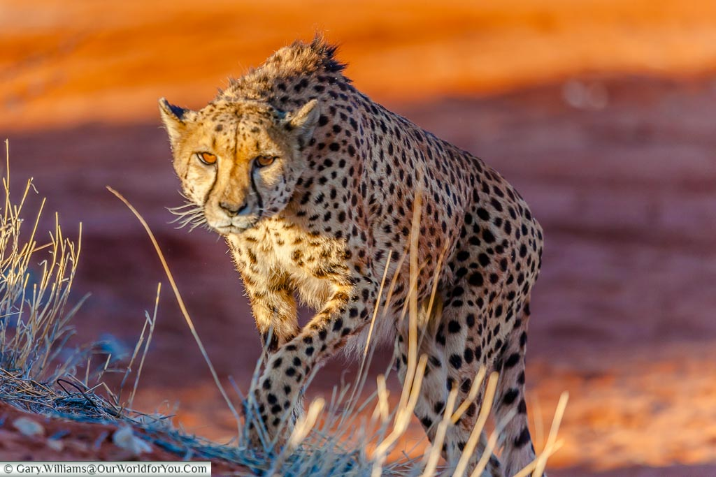 A Stalking Cheetah, Bagatelle Kalahari Game Ranch, Namibia