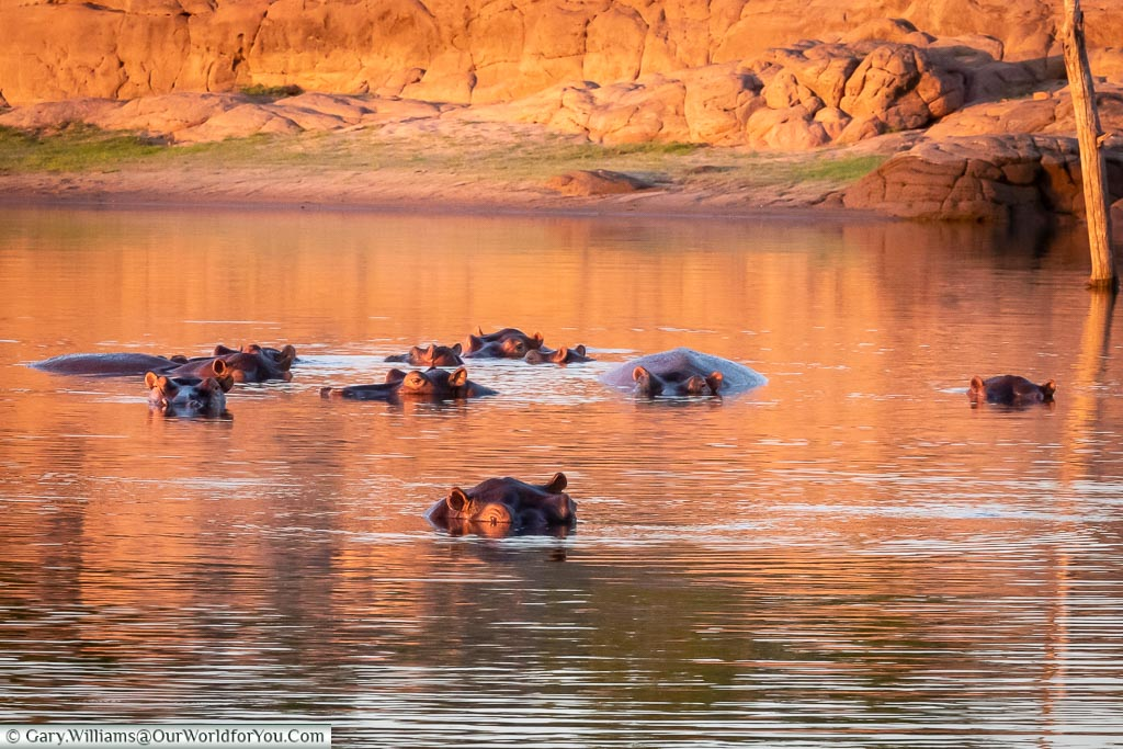 A pod of Hippos in Lake Kariba, Zimbabwe, Africa