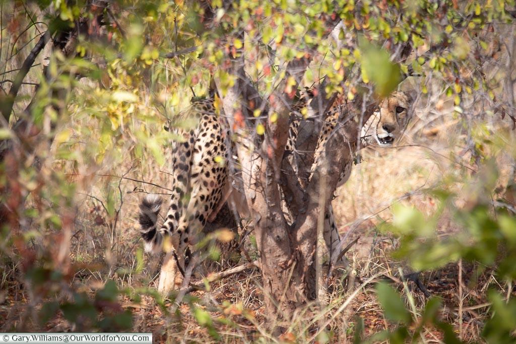 Being checked out by a cheetah, Rhino Safari Camp, Lake Kariba, Zimbabwe