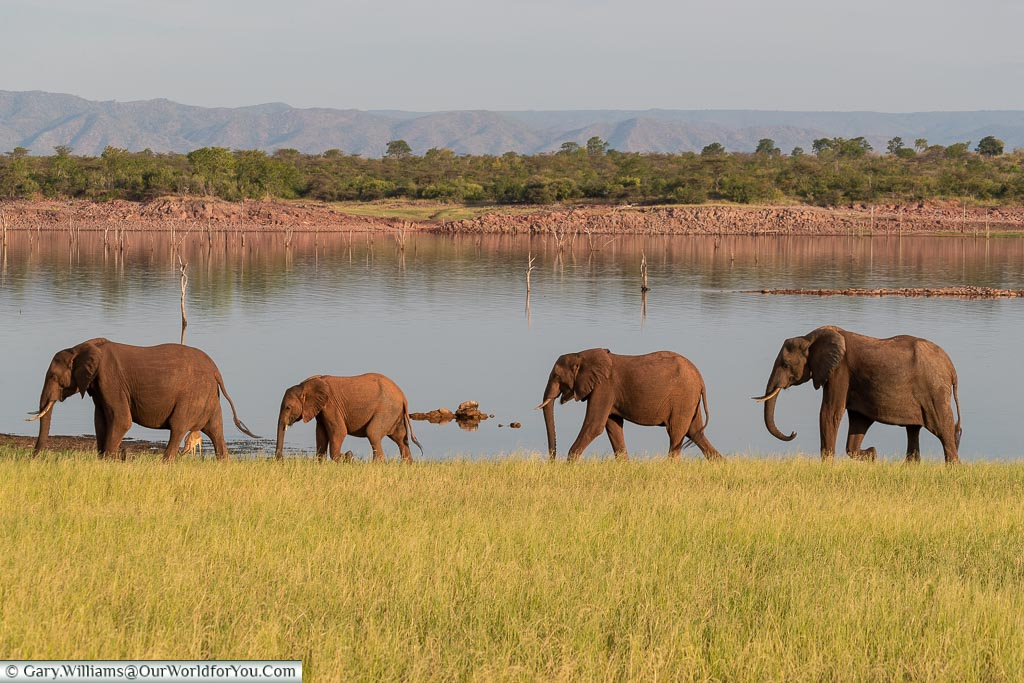 Elephants on an evening stroll, Sundown safari drive, Rhino Safari Camp, Lake Kariba, Zimbabwe