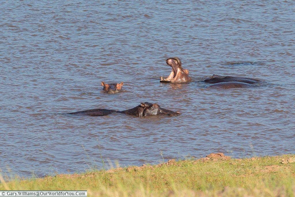 Hippo pool party, Rhino Safari Camp, Lake Kariba, Zimbabwe