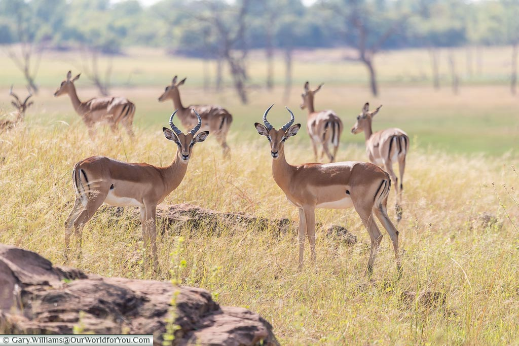 Inquisitive impala, Rhino Safari Camp, Lake Kariba, Zimbabwe