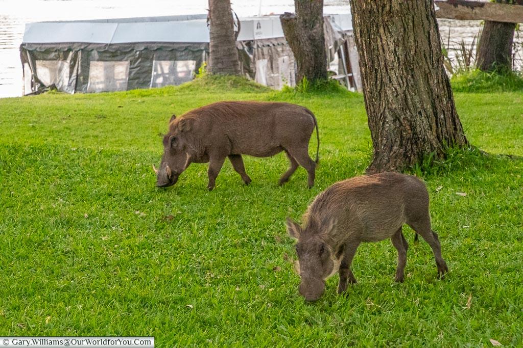 Warthogs at the A'Zambezi River Lodge, Victoria Falls Town, Zimbabwe