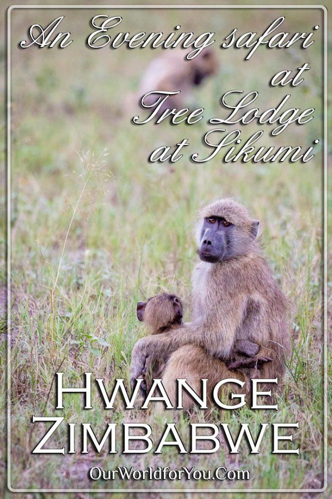 A Pin image of our post 'Evening safari drive, Tree Lodge at Sikumi, Hwange, Zimbabwe'