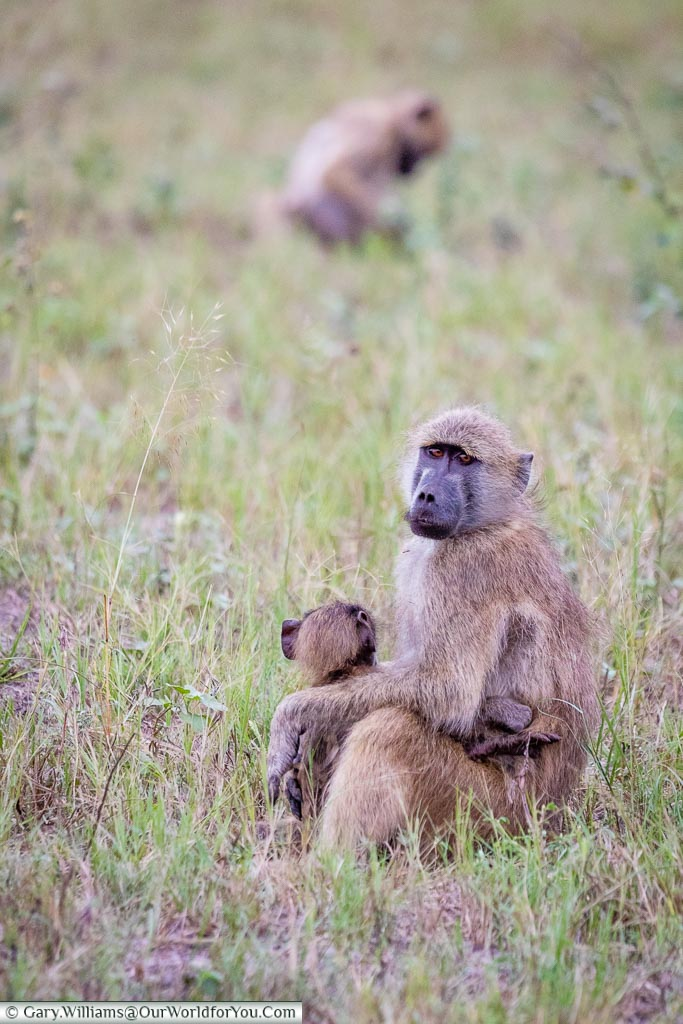 A young baboon with its young sitting in its lap.