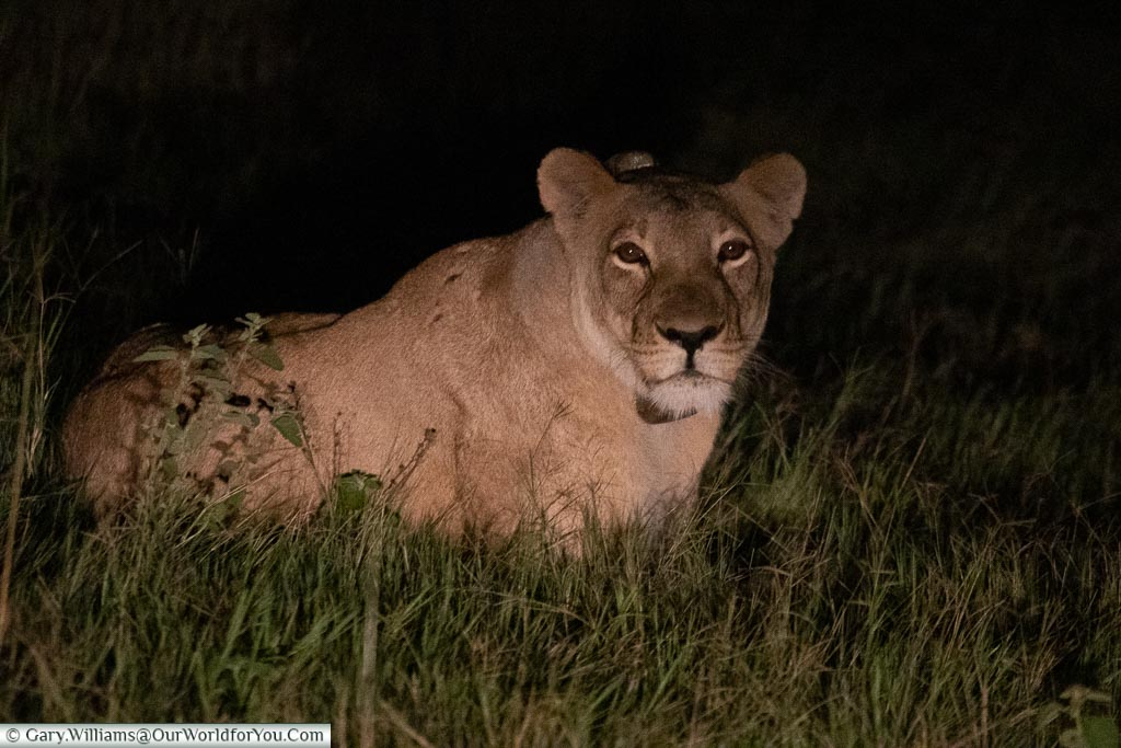A lioness laying on the ground, illuminated by the headlights of the safari truck