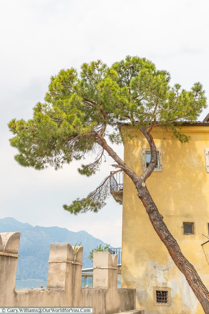 A tree against the backdrop of a building, leaning over at an angle, in the gardens of Palazzo dei Capitani.