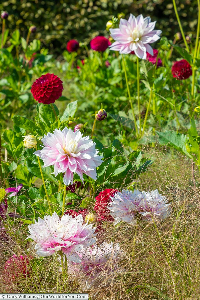 Pale pink dahlias in a flowerbed
