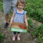 Strawberry Picking at Dondero Orchards