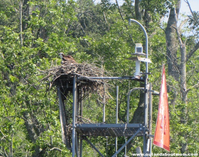 Osprey Nest With Mother and Baby
