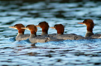 Image result for lineup of common merganser