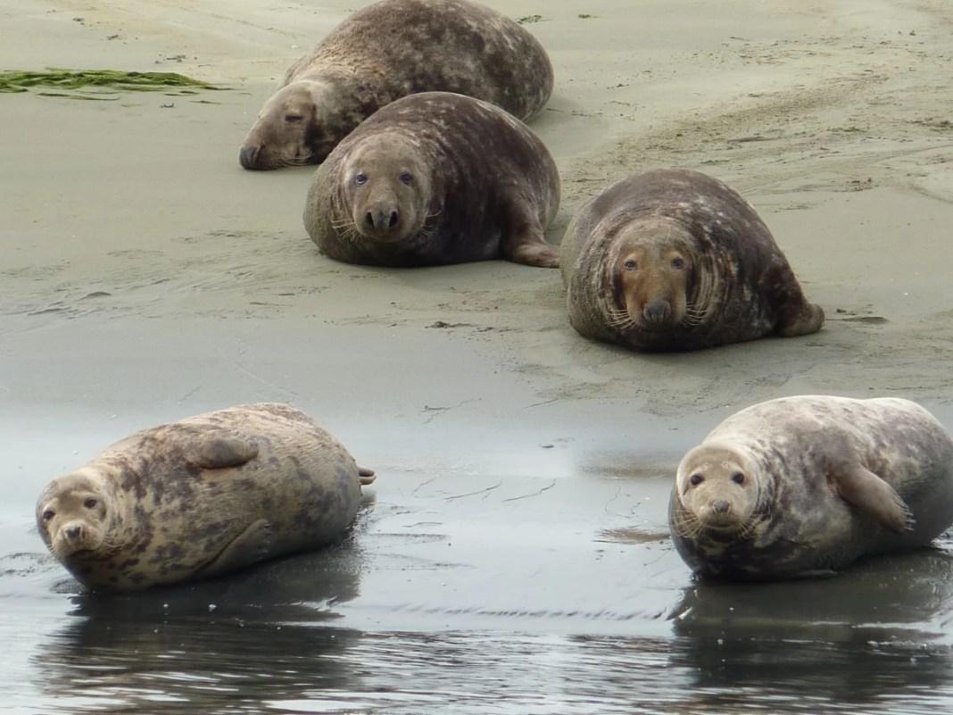 Spot jij de grijze en gewone zeehond in NP Oosterschelde?