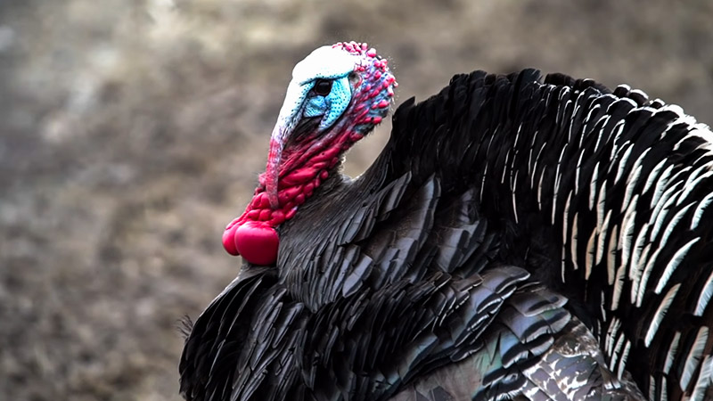 Safety Considerations When Hunting Wild Turkey 1