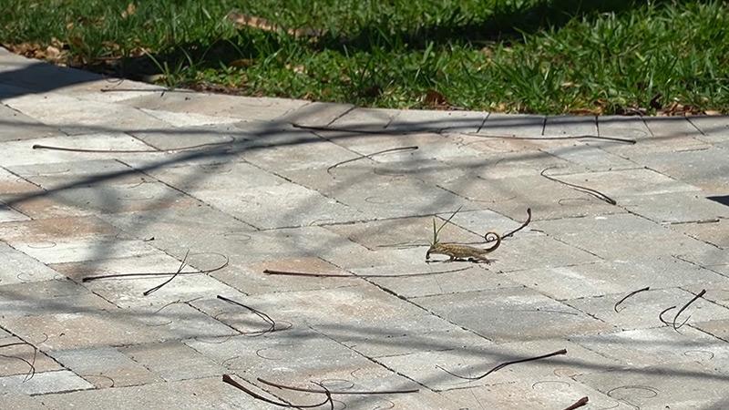 Catching Live Lizards