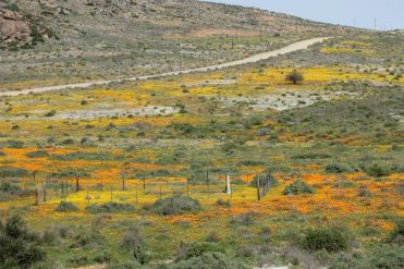 The famous wildflower bloom of Namaqua National Park that occurs every August & September.