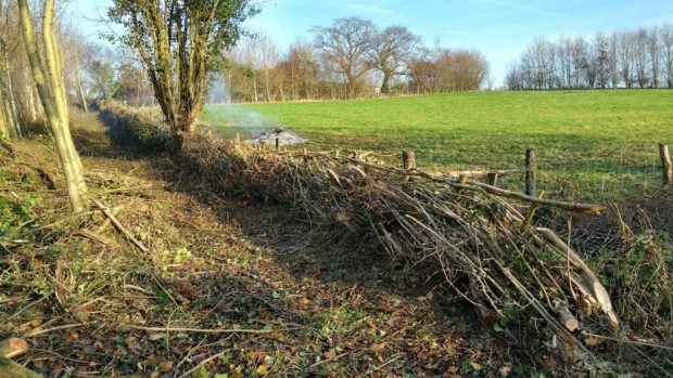 A newly laid hedge showing the stakes and hazel weavers that make it stock proof and hold the structure of the hedge together until it regrows