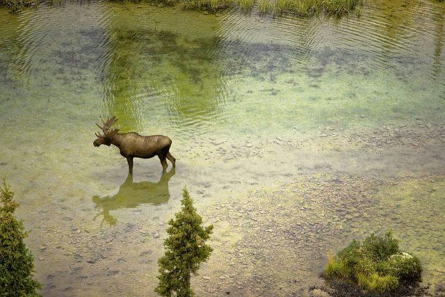moose-939967_1280