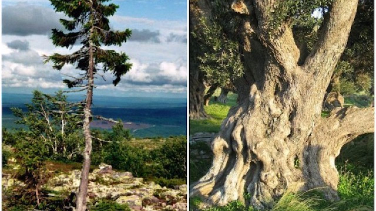 10 Of The Oldest And Biggest Trees In The World