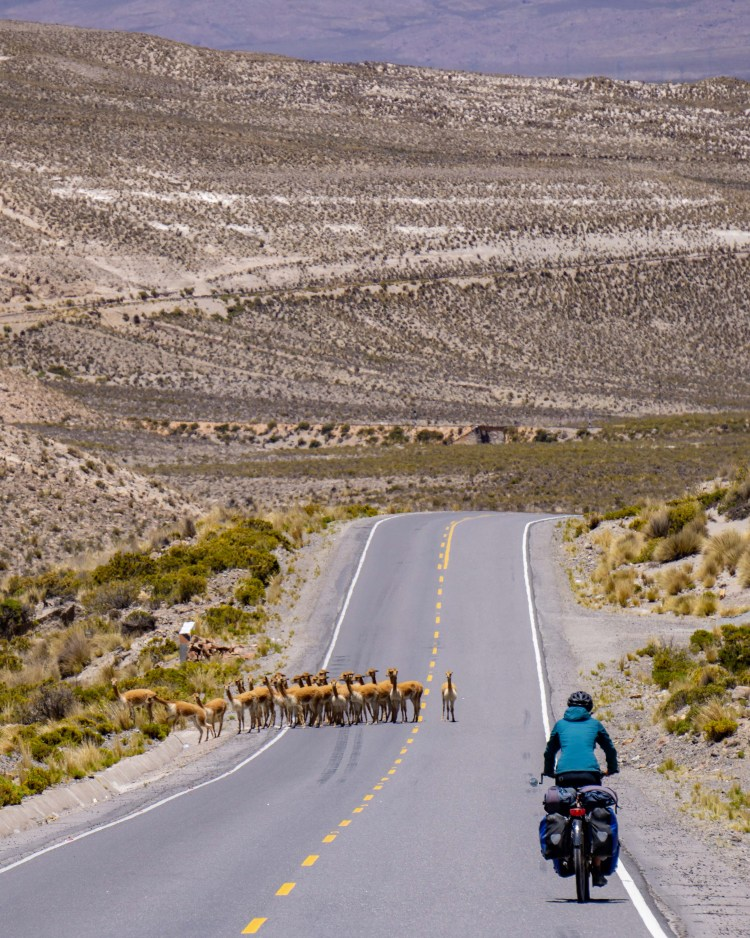 cones and canyons route: vicunas