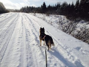 Skijoring on Lady Slipper Road