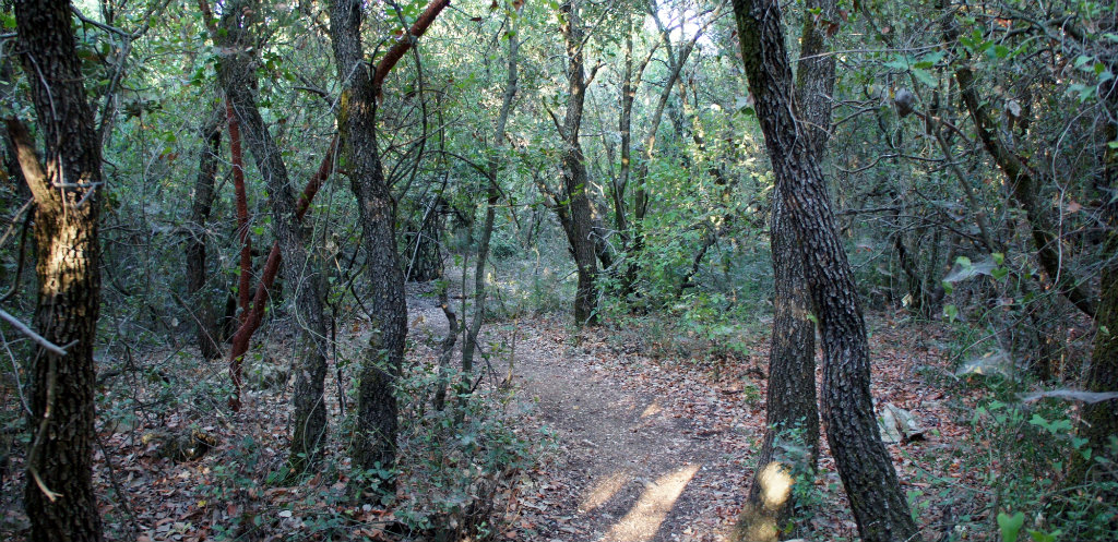 Beautiful Mediterranean forest, including the red Arbutus andrachne on the left