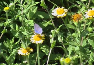 blue butterfly on daisies