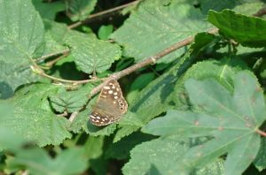 speckled wood butterfly on leaves