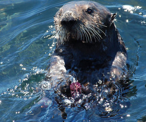 Sea otter with urchin Credit: matt knoth (Flickr)