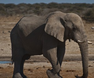 Say what? An elephant uses its feet and trunk to listen to seismic sound Photo credit: O'Connell & Rodwell