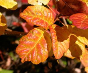 Beautiful leaves of three, covered with greasy urushiol just waiting for you to walk on by.