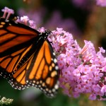 Lookout! The Monarchs Are Coming…Maybe