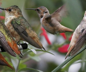 Allen's_Hummingbird_From_The_Crossley_ID_Guide_Eastern_Birds