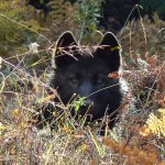 A cultural and emotional history of wolves in Oregon