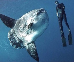 Diver Ryan Brennan hangs with a Mola mola off the coast of Southern California  Credit: Bradley Beckett