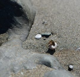 Hermit crab rolled off the rock and peeks out