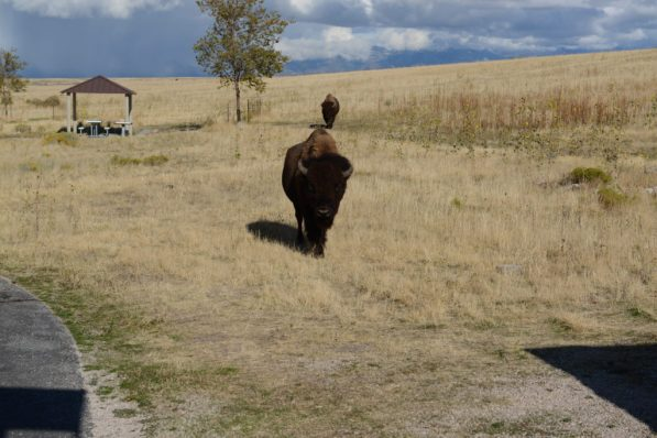 Bison arrive for visit