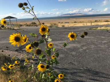 Sunflowers are plentiful on Antelope Island UT