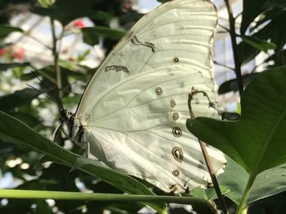 Translucent wings at Butterfly World Scottsdale