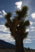 Joshua Tree standing tall
